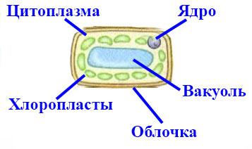 Пластиды строение и функции - сайт по биологии