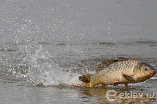 Сазан рыба: (как выглядит и где водится сазан, описание рыбы)