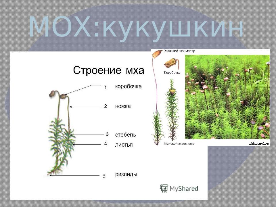 Виды мхов с описанием и названиями, список растений