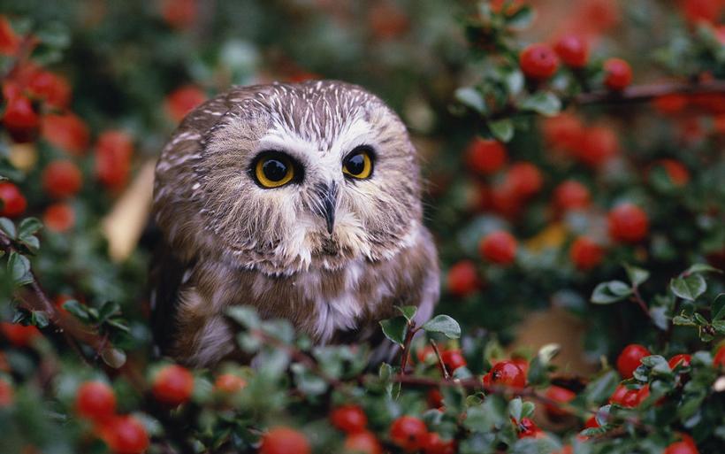Птица сыч: фото и приметы, связанные с птицей