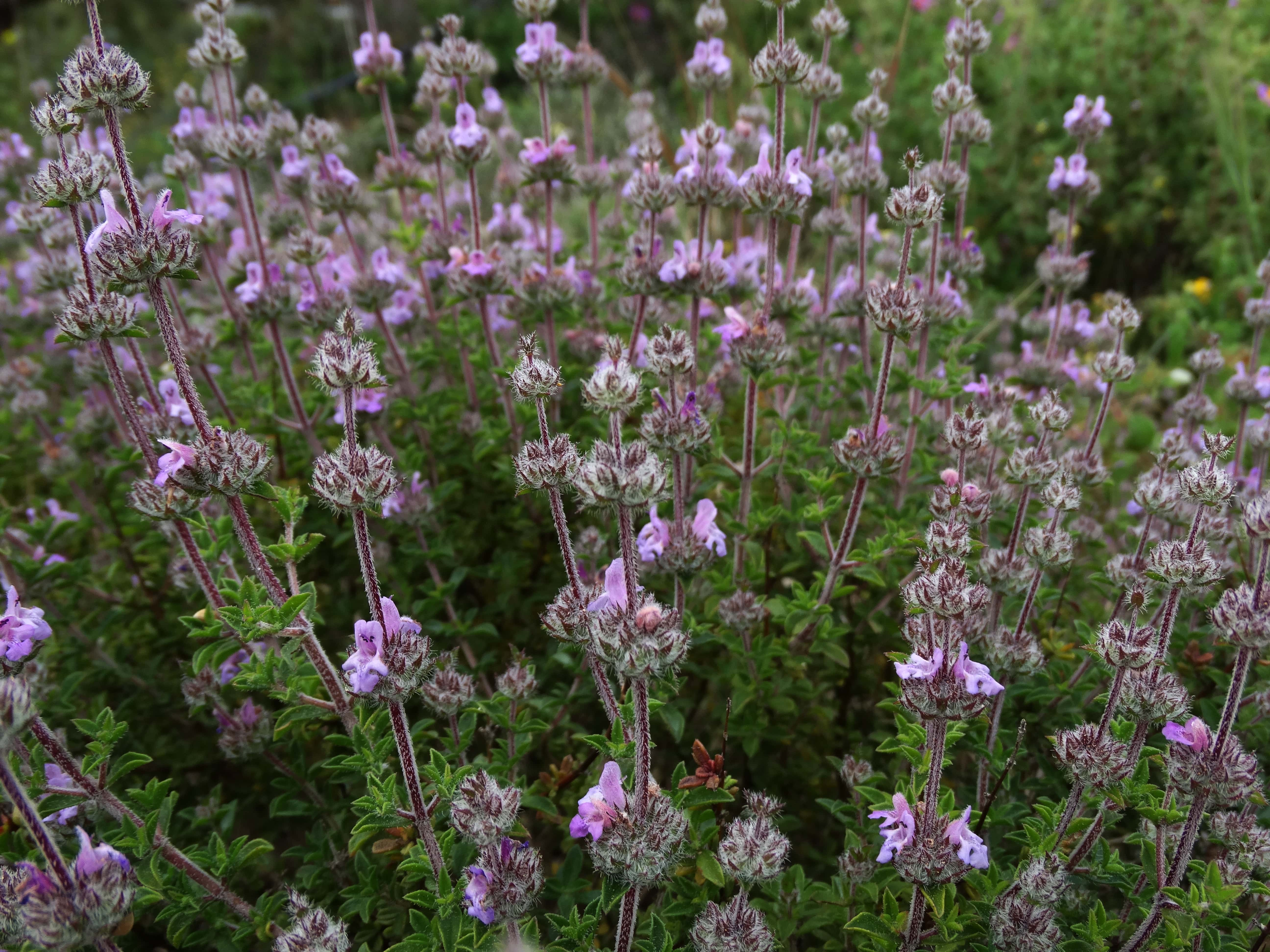 Чабер садовый, ароматный или огородный: что это такое, многолетняя культура или нет, каковы полезные свойства, как выглядит на фото и нюансы выращивания из семян