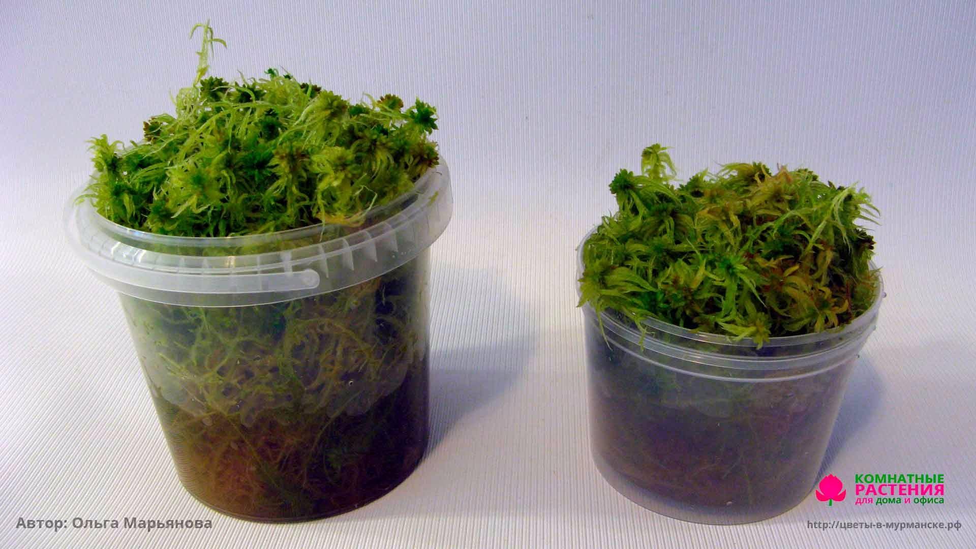 Как правильно применять мох сфагнум в домашнем цветоводстве. мох. общая характеристика мхов.