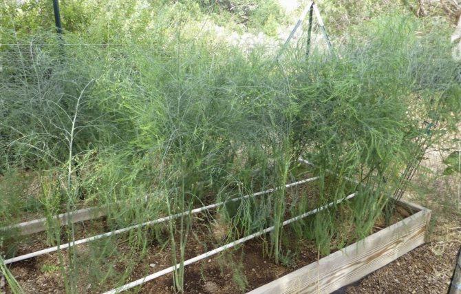 Выращивание спаржи в домашних условиях или в огороде, а также какие сорта лучше выбрать