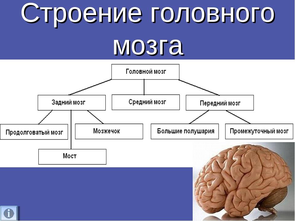 Головной мозг — википедия. что такое головной мозг