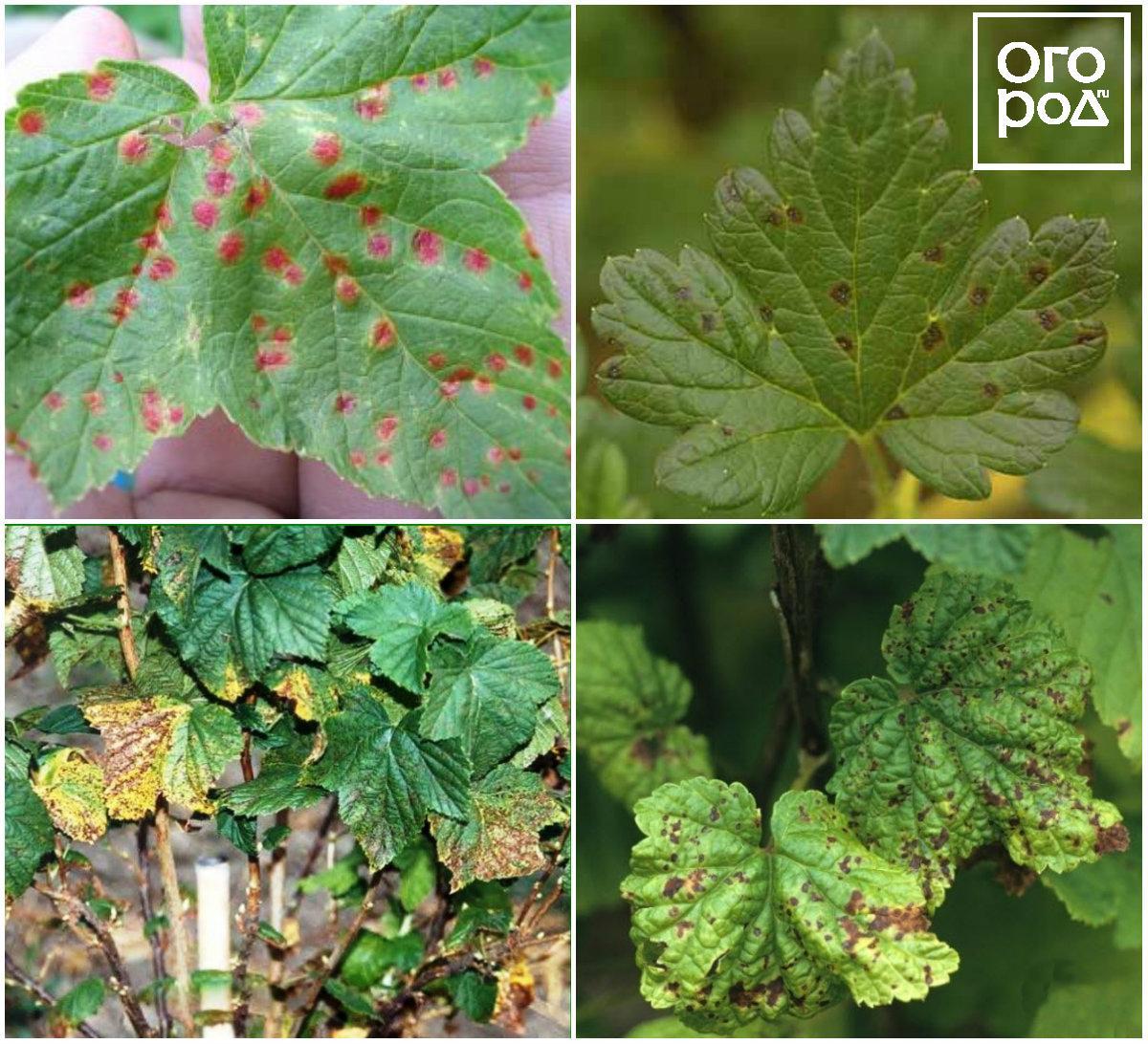 Красные пятна на листьях смородины: как избавиться, видео и фото