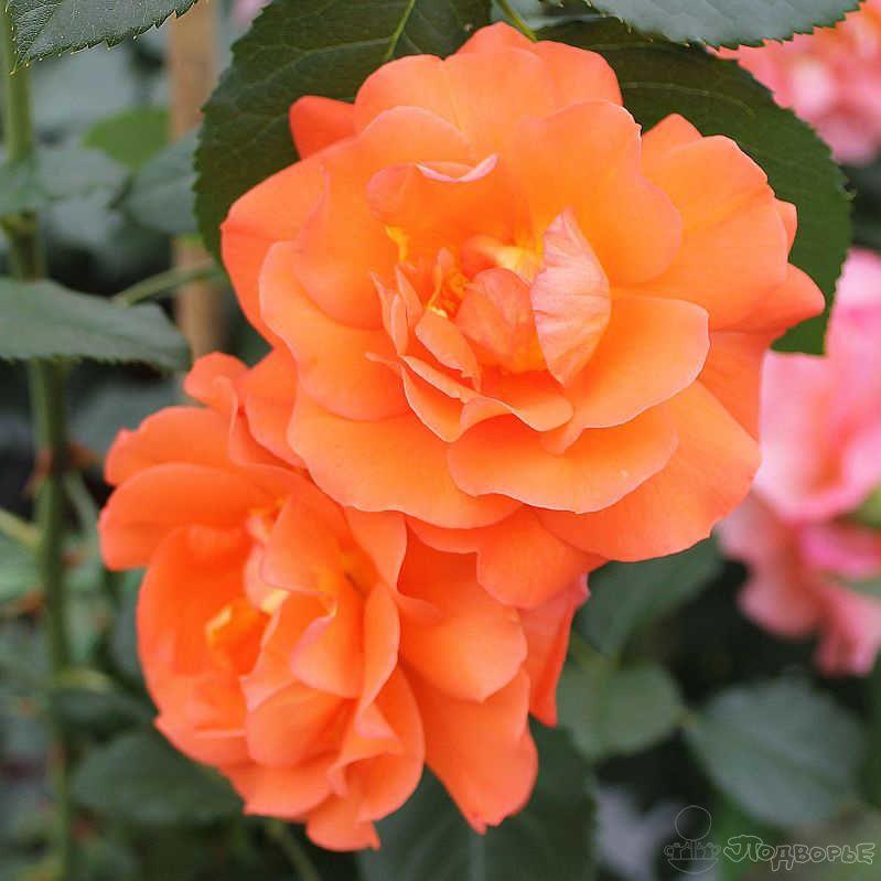 Выбираем сорт розы: флорибунда, плетистая, шраб? на supersadovnik.ru