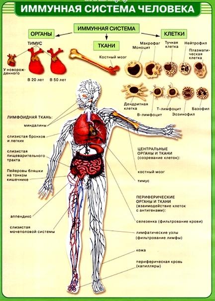 Иммунная система - повышение иммунитета, тест иммунной системы человека