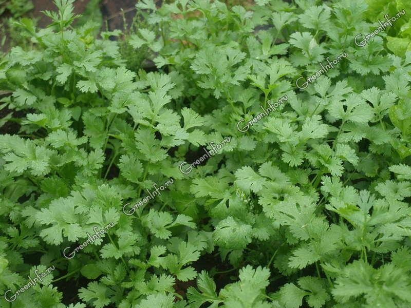 Кориандр: что такое кориандр, описание приправы coriander с фото, полезные свойства и применение