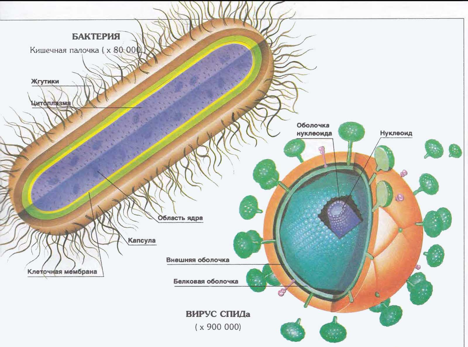 Бактерии — общая характеристика. классификация, строение, питание и роль бактерий в природе