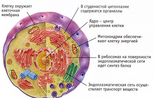 Прокариотические и эукариотические клетки: строение, отличия - krasgmu.net