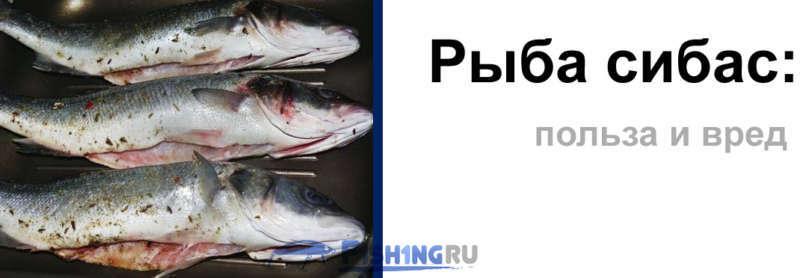 Сибас (23 фото): описание рыбы, разновидности чилийский сибас и лаврак. где водится морской волк и костлявый он или нет?