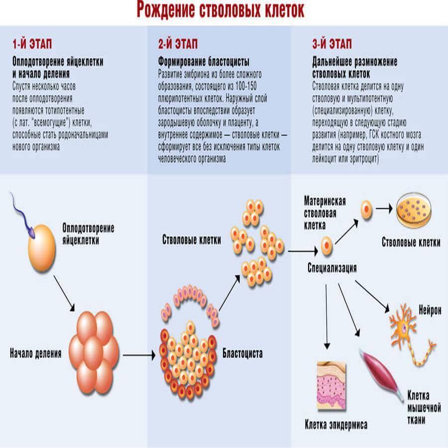 Лечение стволовыми клетками: правда и ложь