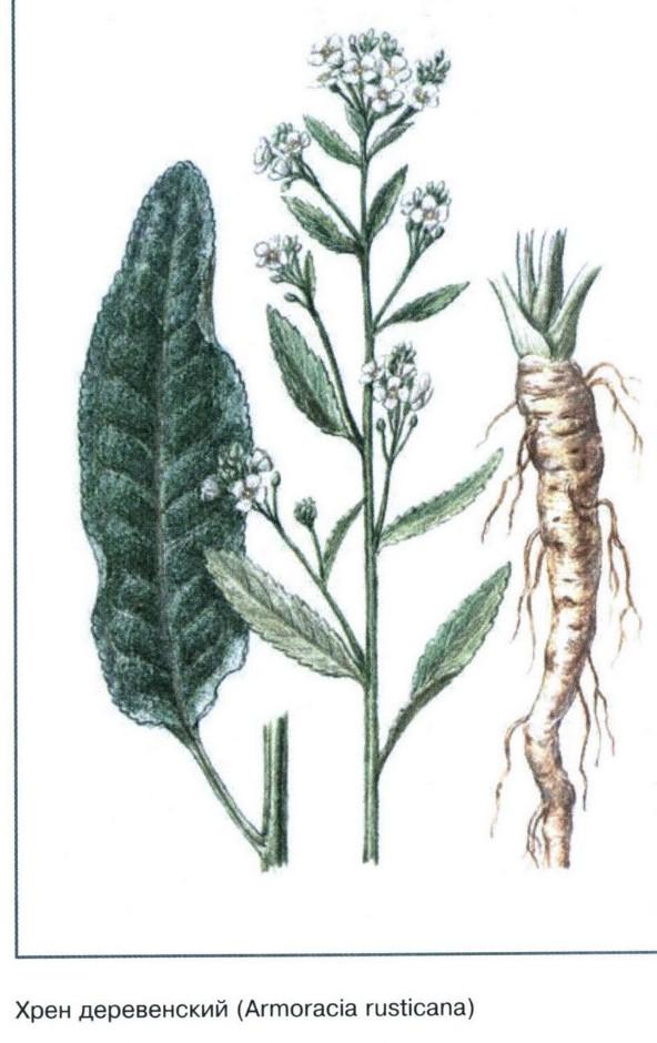 Хрен: полезные свойства для мужчин, противопоказания, настойка на водке, листья хрена и корень для здоровья