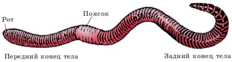 Кто такие червяги и опасны ли они для людей? - hi-news.ru