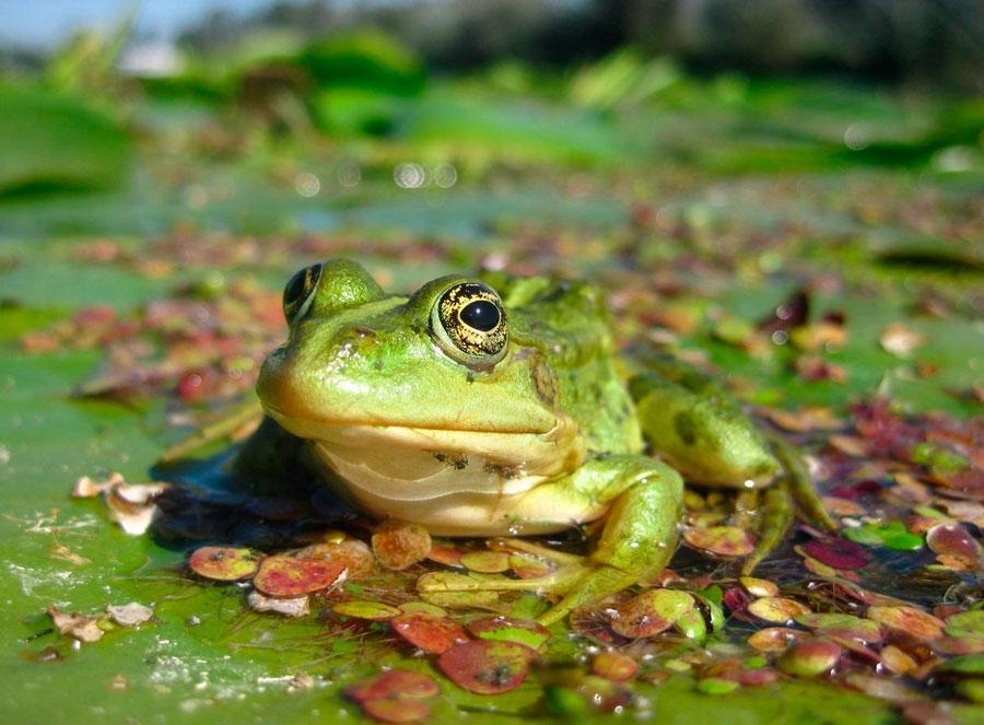 Лягушка — наш зеленый мир – сайт о животных, растениях, грибах