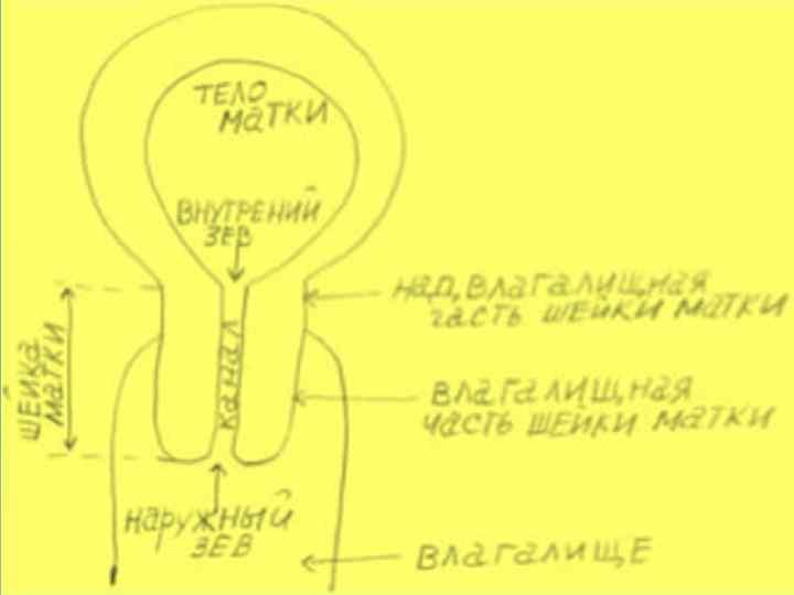 Что называют эндоцервиксом в гинекологии: строение и функции эпителиального слоя, методы обследования, заболевания цервикального канала и способы их лечения