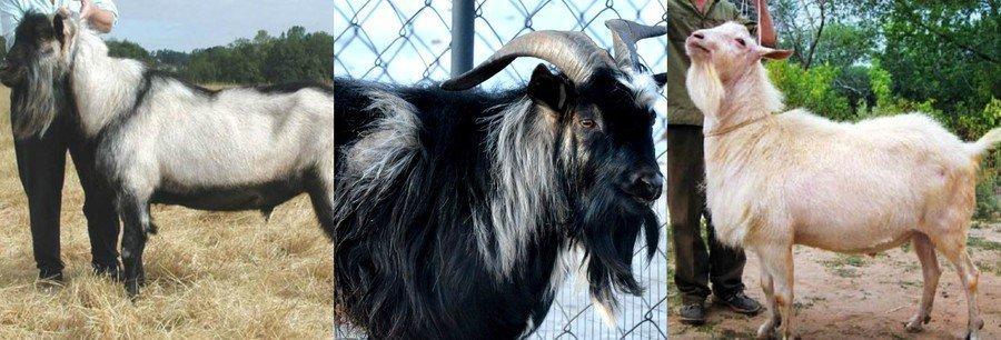 Интересные факты о козах