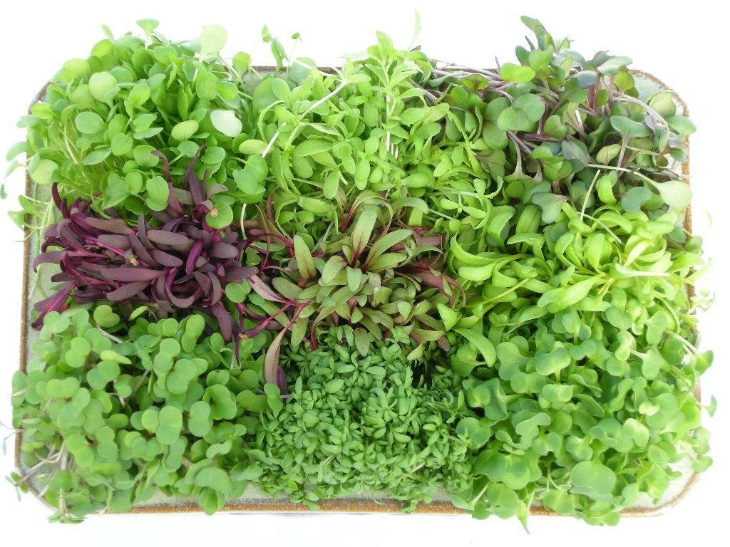 Что такое микрозелень? пищевая ценность и как выращивать?