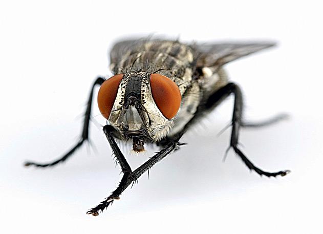 Муха - это... описание, образ жизни и значение насекомого
