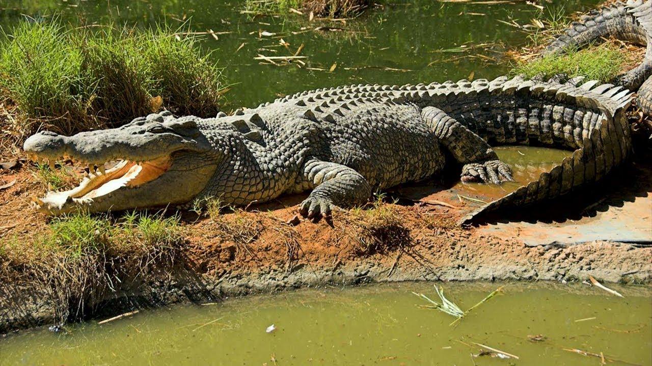 Необычные и красивые виды крокодилов: описание и фото