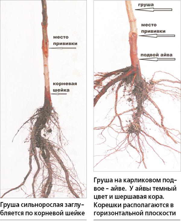 Болезни яблонь: корневая гниль — симптомы, лечение, профилактика