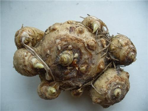 Что это - луковица, кореневище, клубень