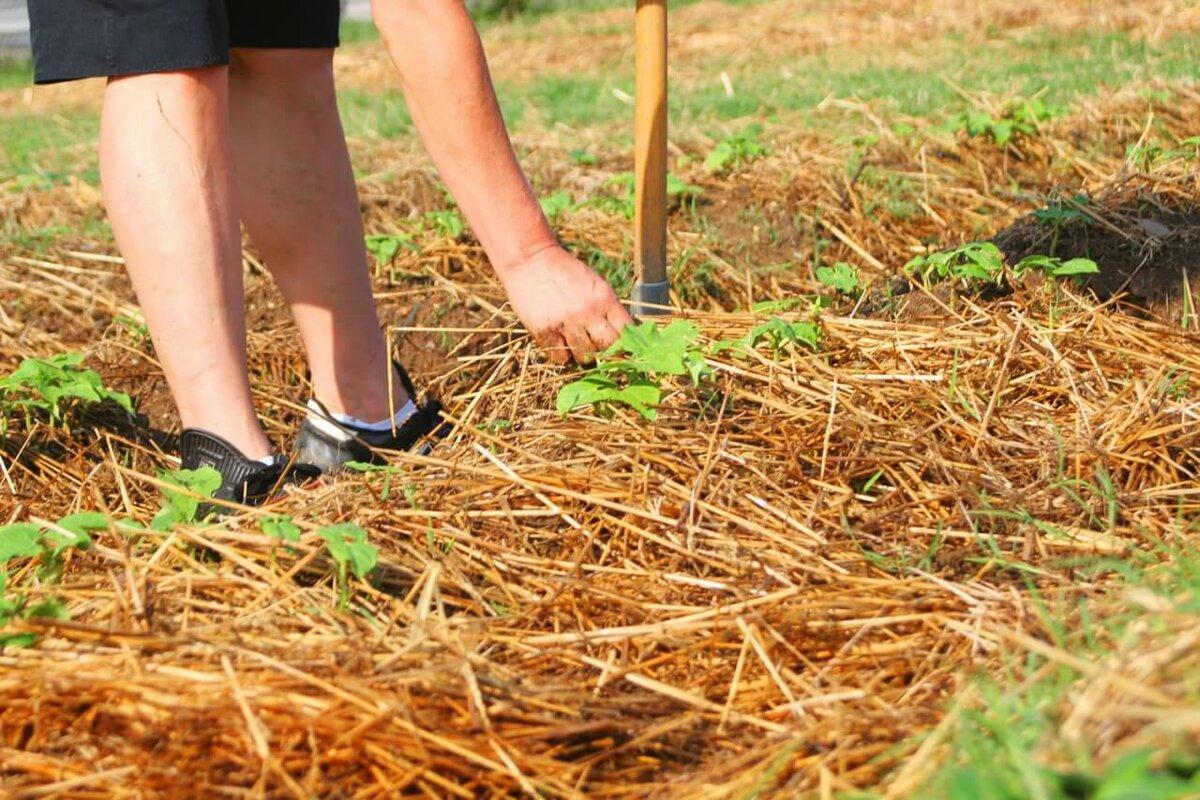 Какую мульчу использовать для разных культур   дела огородные (огород.ru)