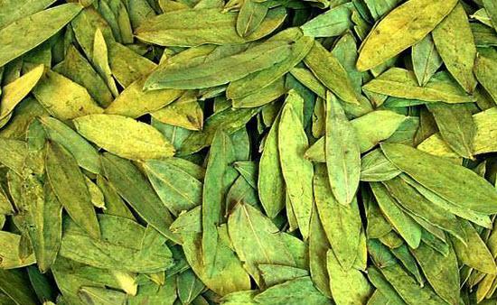 Александрийский лист — лечебные свойства, применение и рецепты