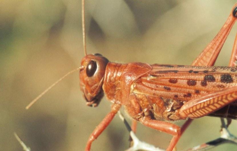 Саранча – описание, виды, чем питается, где обитает, фото