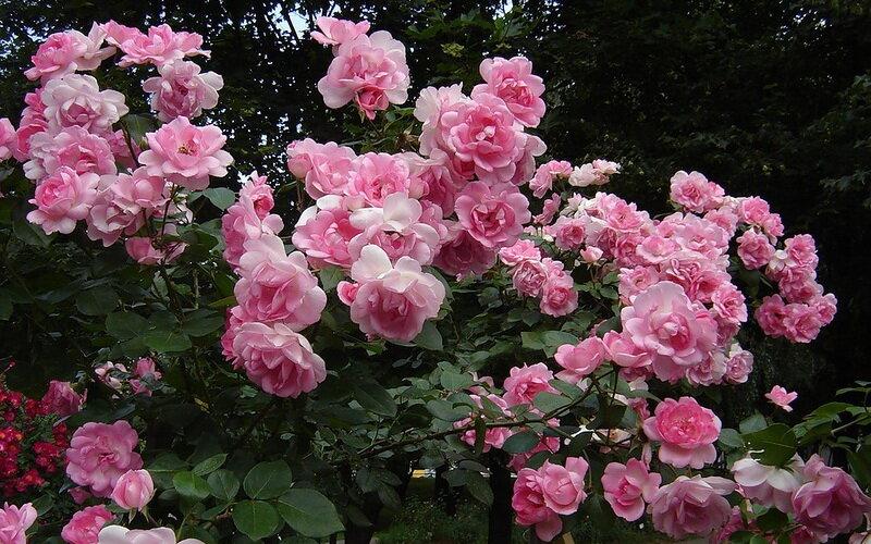 Полиантовые розы: описание 11 сортов + секреты агротехники