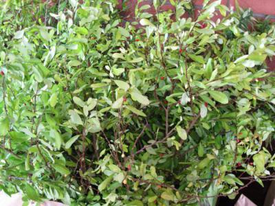 Что это за растение кока? кокаиновый куст: где растет, описание