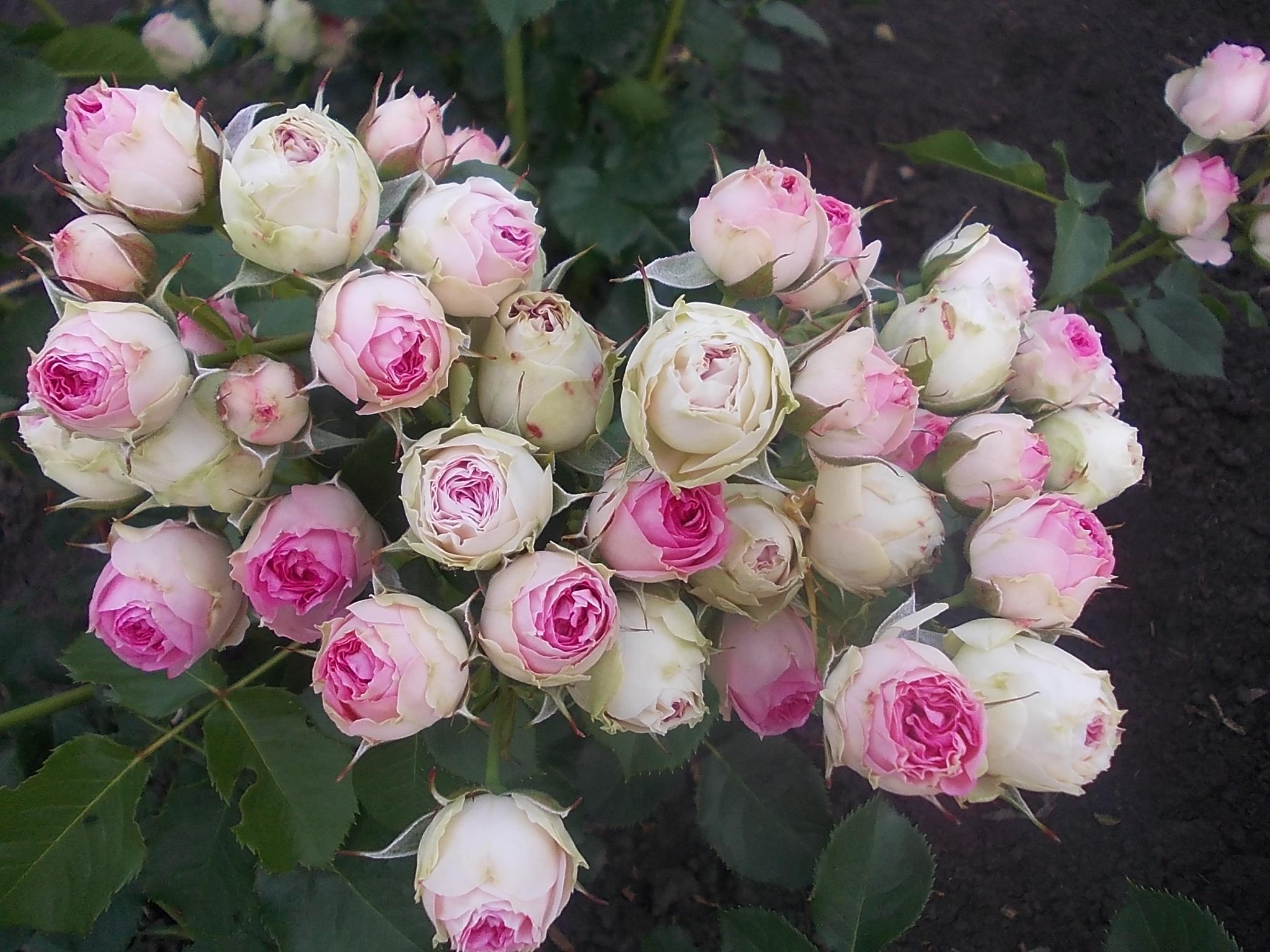 Розы спрей: фото с описанием сортов, уход за цветком