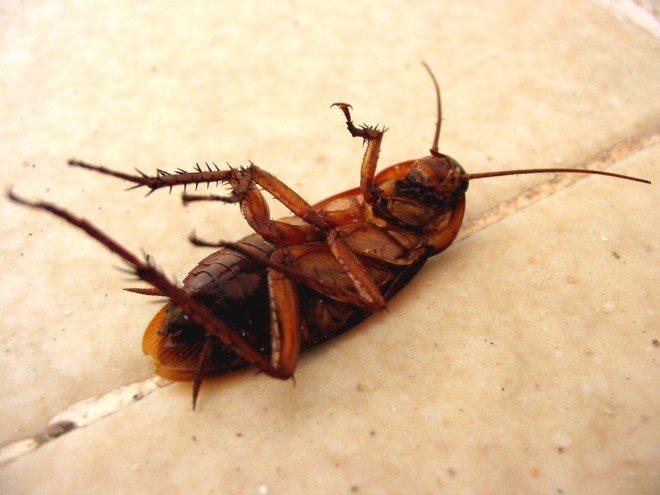 """Прусак или рыжий таракан в чем разница - служба дезинфекции """"экоконтроль"""""""