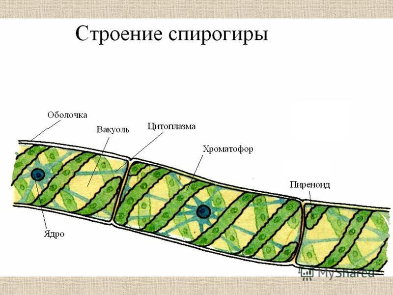 Места обитания спирогиры, особенности строения и размножения
