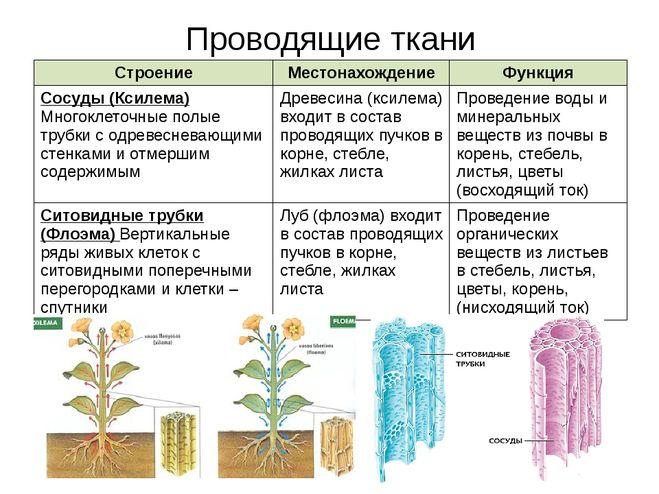 Что такое ксилема и флоэма в биологии – мертвые элементы проводящей ткани растений