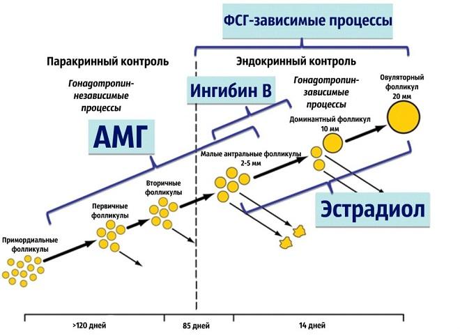 Антимюллеров гормон: норма у женщин по возрасту (таблица)