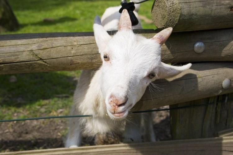 Породы коз с фотографиями и названиями