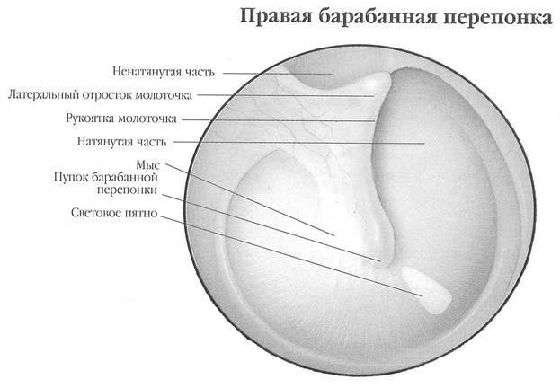 Анатомическое строение и функции уха.