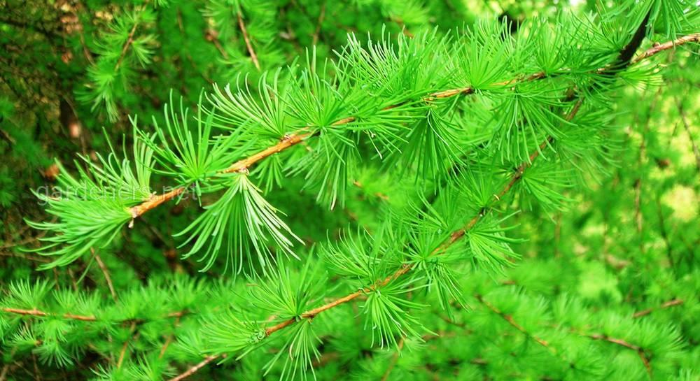 Древесина из лиственницы: свойства и недостатки в использовании породы дерева, сферы применения и характеристики лиственницы, цвета