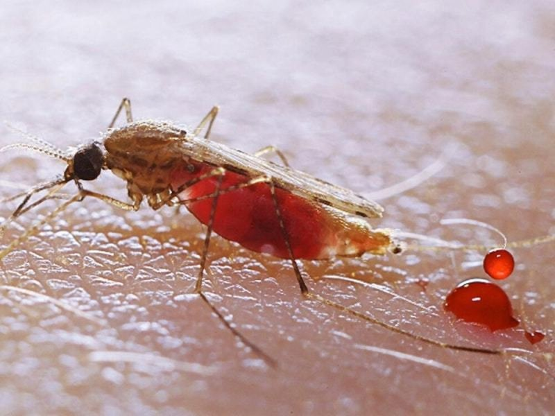 Малярия — википедия. что такое малярия