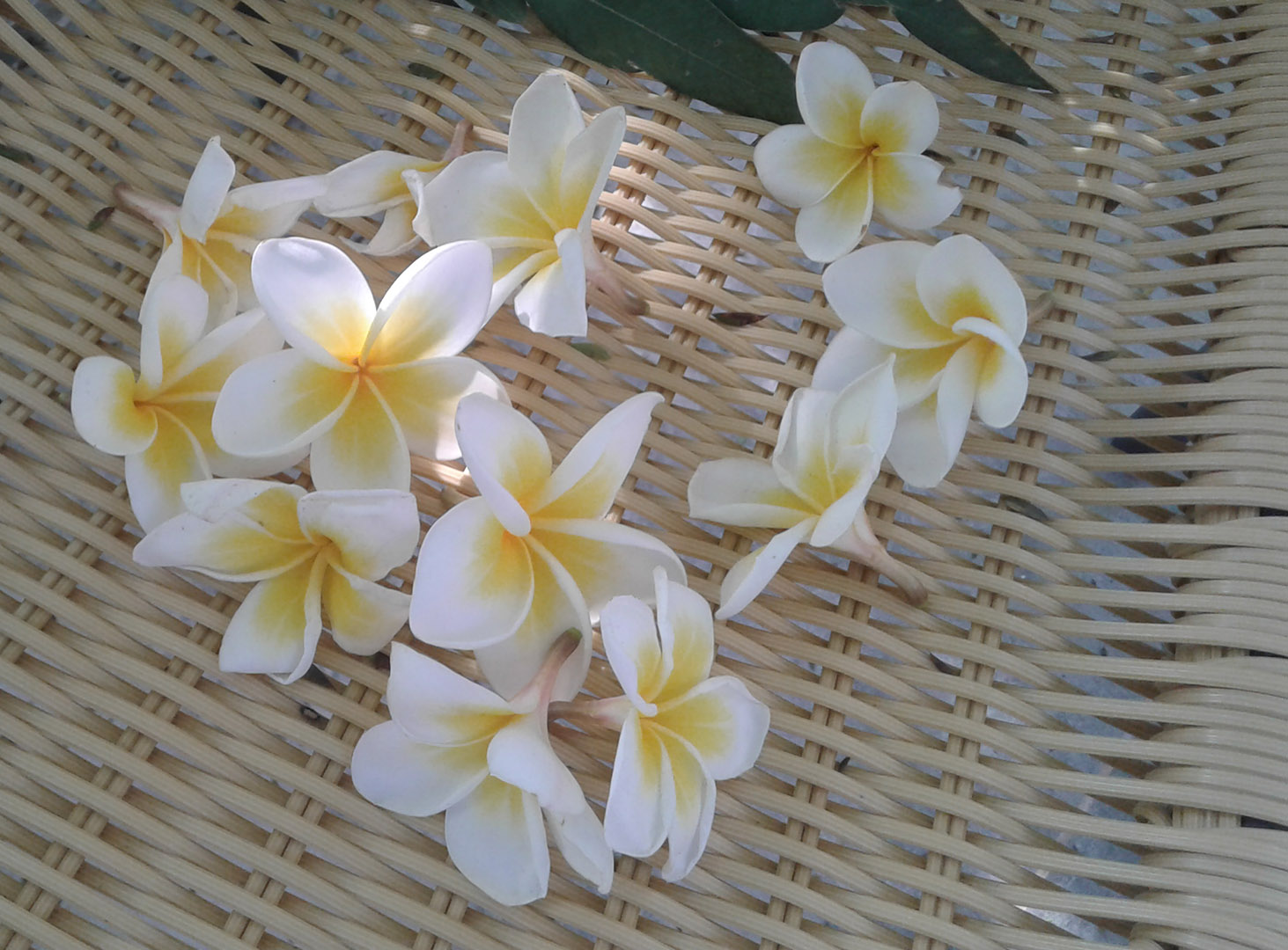 Плюмерия (франжипани) или цветущий сувенир с островов в океане - правильная дача