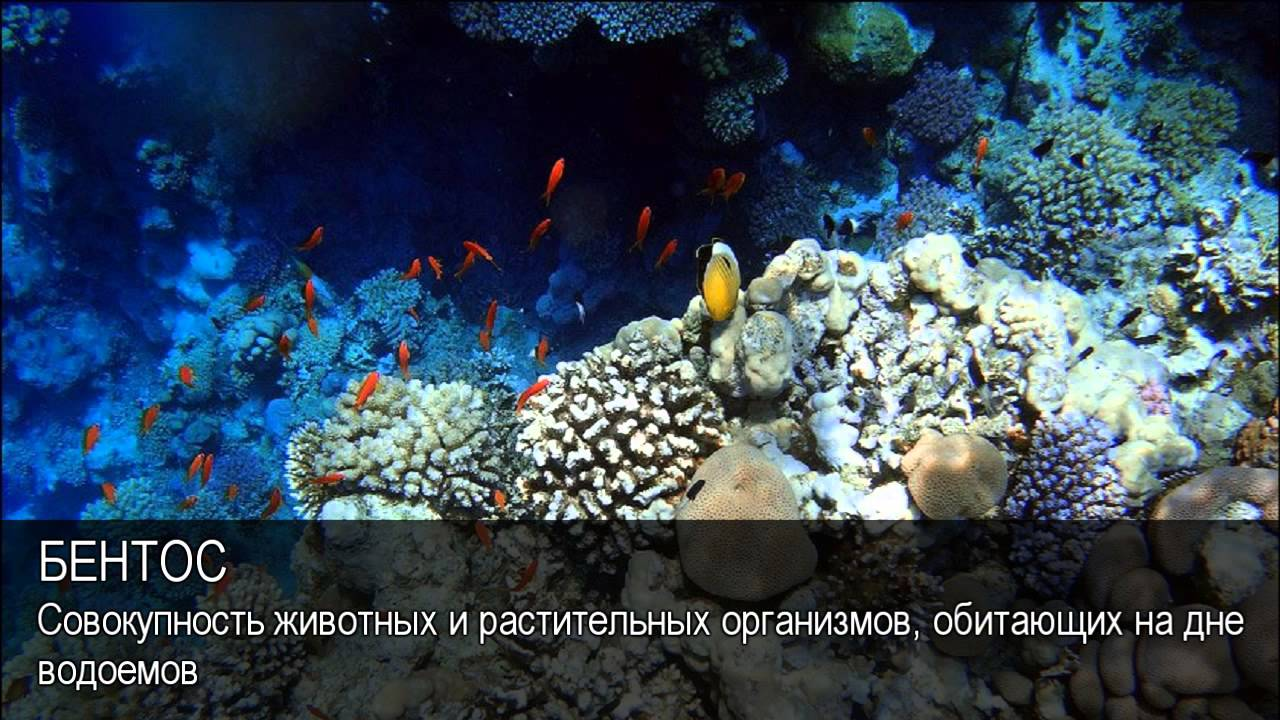 Планктон, нектон, бентос: определение морских организмов