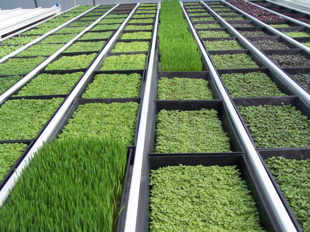 Микрозелень как бизнес – бизнес-план выращивания микрозелени