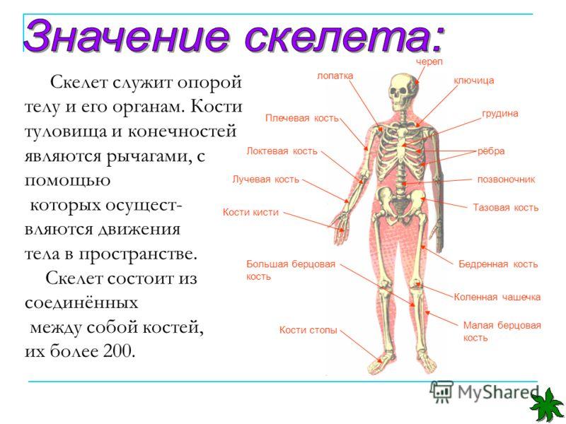 Ключица — большая медицинская энциклопедия