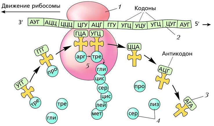 Общие сведения   cell biology.ru