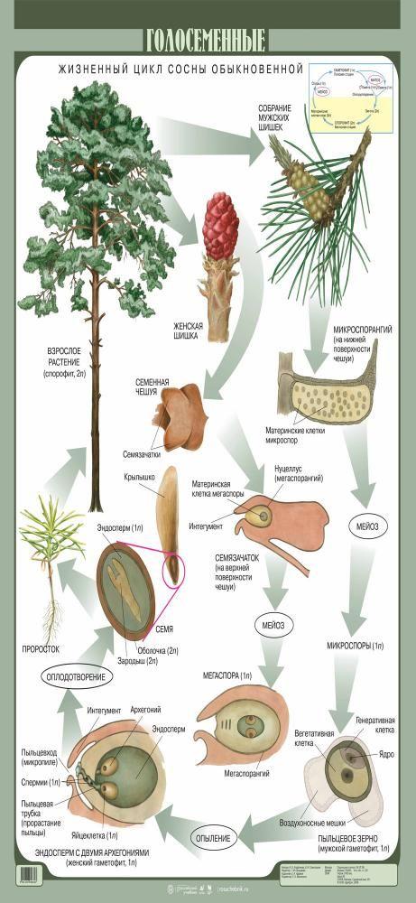 Голосеменные растения: примеры самых распространенных, их жизненный цикл | tvercult.ru