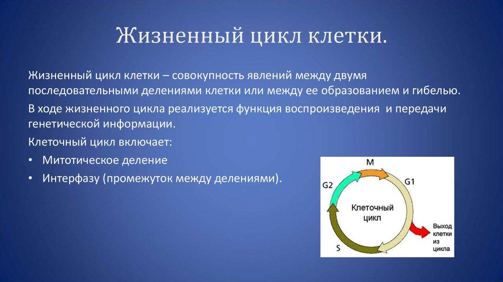Особенности и последовательность этапов клеточного цикла