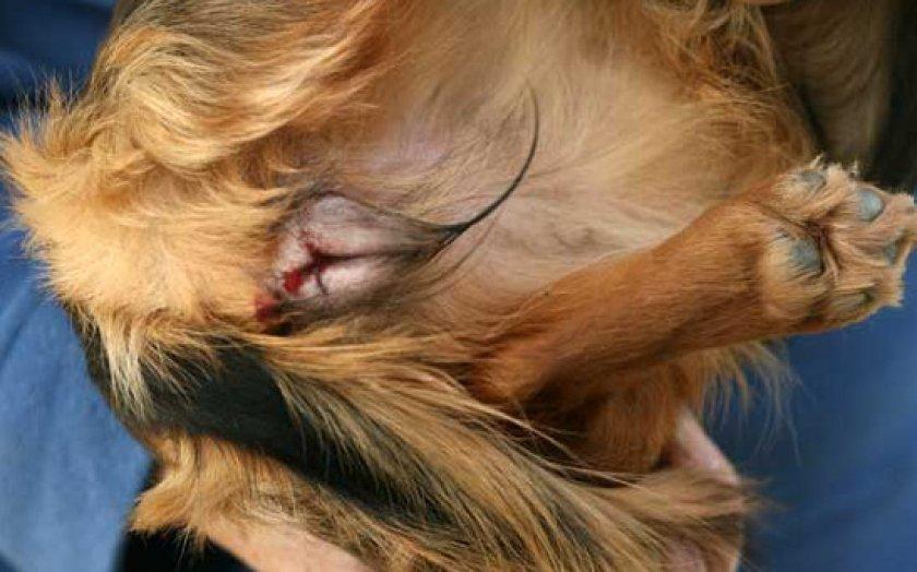 Справляемся с процессом протекания первой течки у собаки