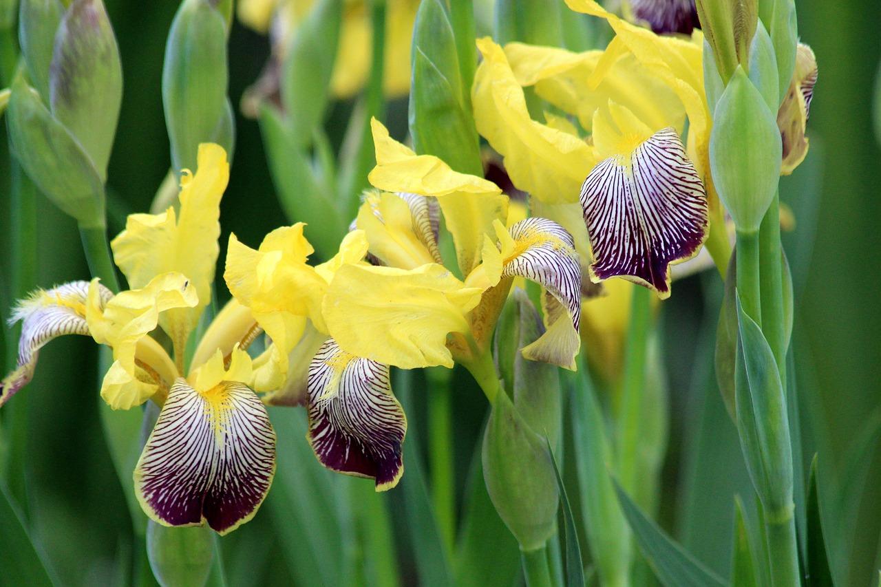 Цветы ирисы: посадка и уход, фото, выращивание, виды и сорта