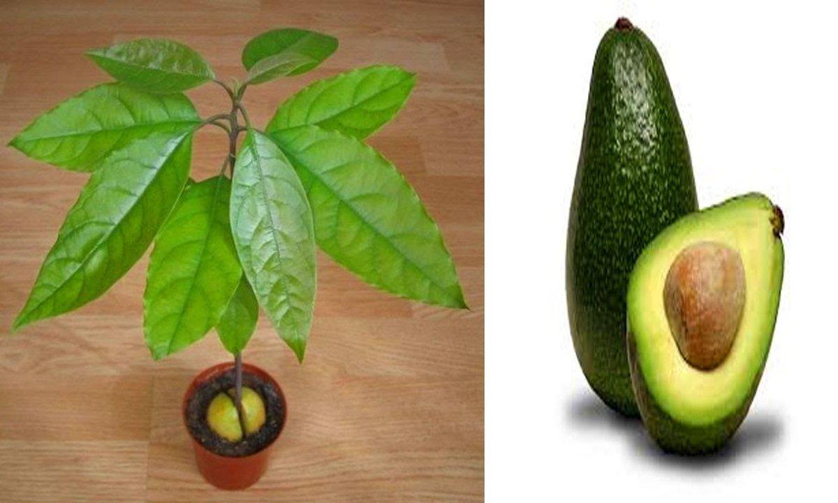 Авокадо - фрукт или овощ, польза и вред, как есть правильно